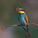 The real Bee-eater