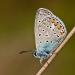 Common blue 1