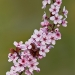 Purple leaved flowering plum
