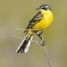 Yellow-Wagtail-2
