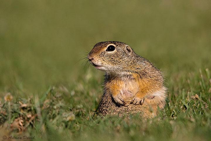 Ground squirrel 2